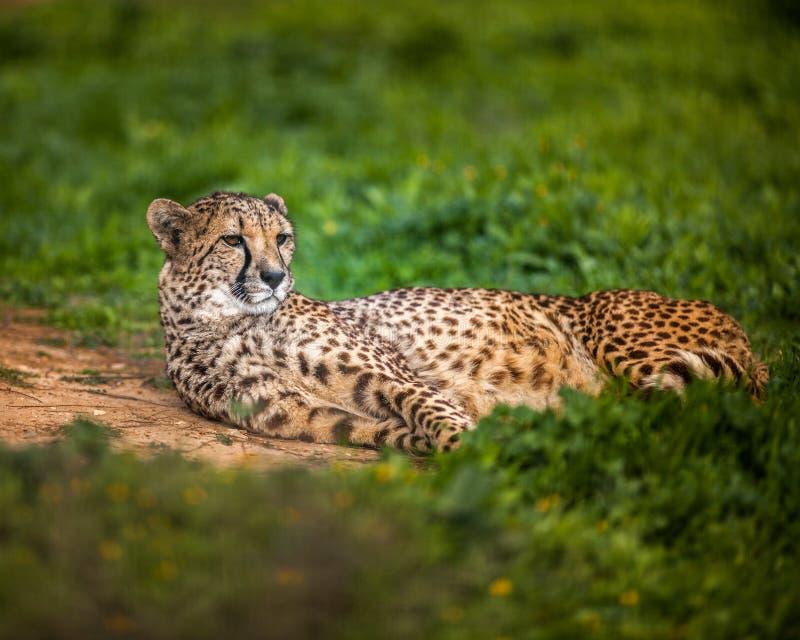 Bello ghepardo selvaggio che riposa sui campi verdi, fine su immagini stock libere da diritti