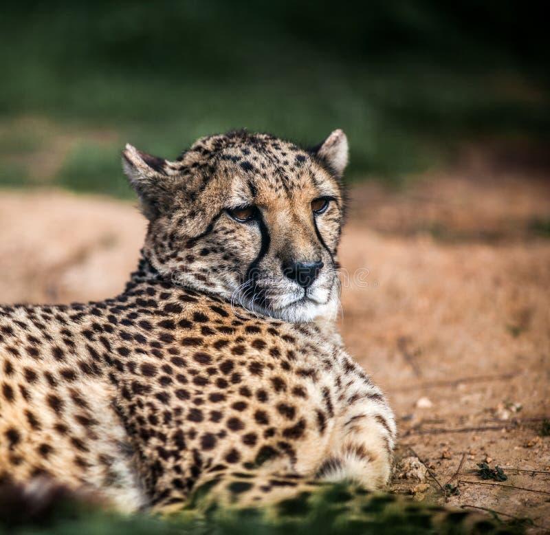 Bello ghepardo selvaggio che riposa sui campi verdi, fine su fotografia stock libera da diritti