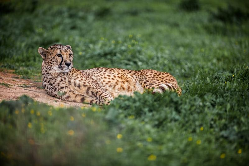Bello ghepardo selvaggio che riposa sui campi verdi, fine su fotografia stock