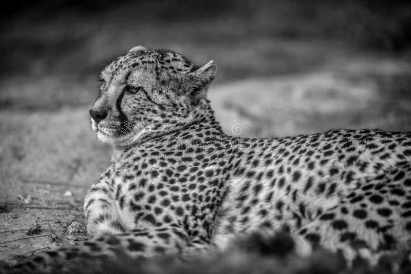Bello ghepardo selvaggio che riposa sui campi verdi, fine su, in Bla immagini stock
