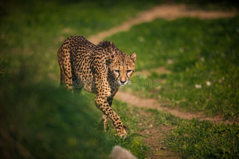 Bello ghepardo selvaggio, fine su fotografia stock libera da diritti