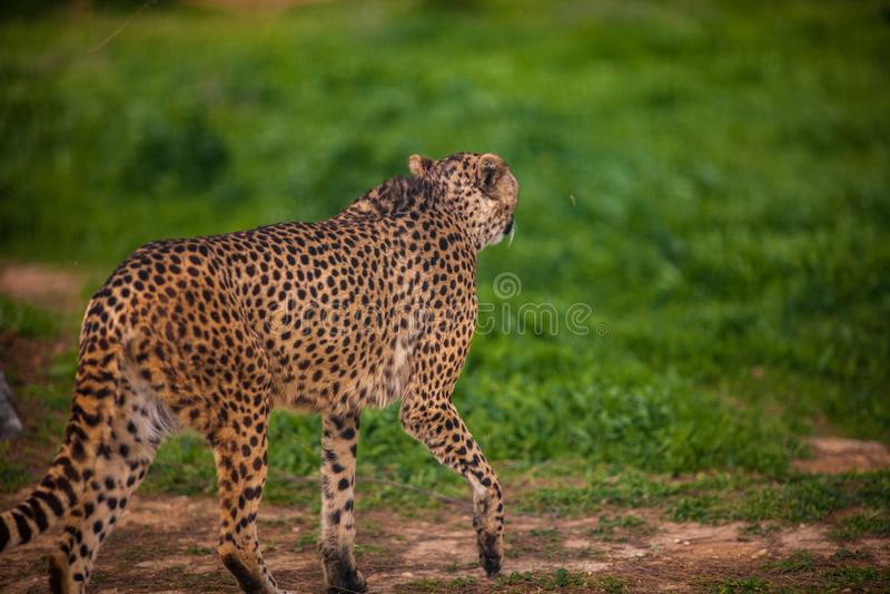 Bello ghepardo selvaggio, fine su fotografia stock