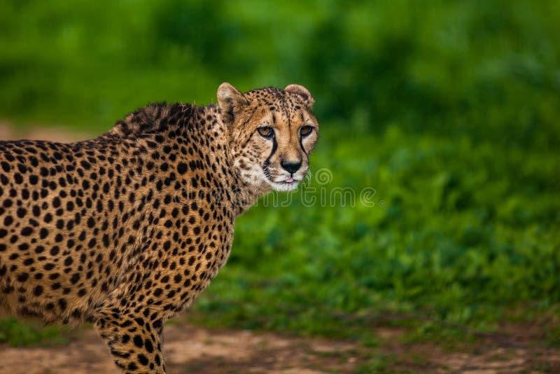 Bello ghepardo selvaggio, fine su immagini stock libere da diritti