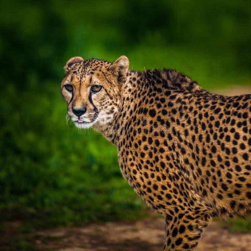 Bello ghepardo selvaggio, fine su fotografie stock libere da diritti
