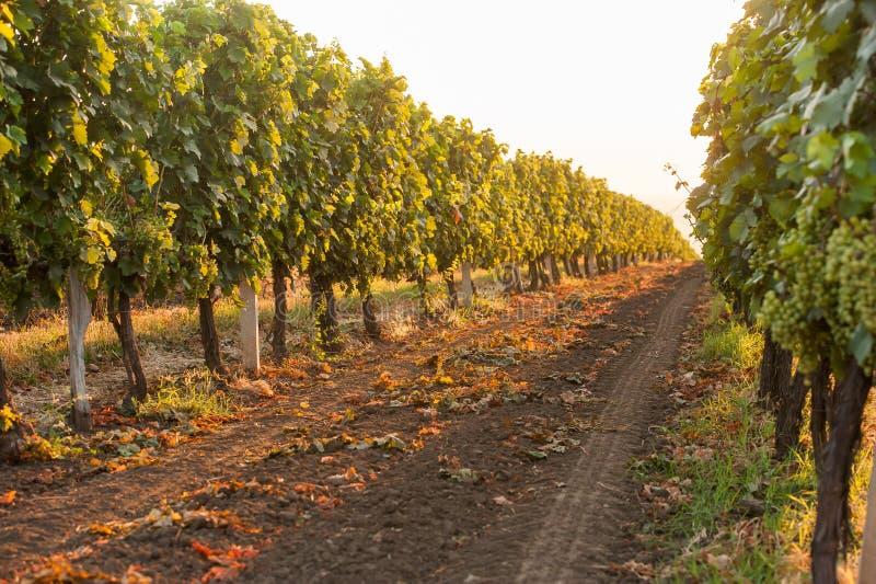 Bello giacimento dell'uva fotografie stock libere da diritti