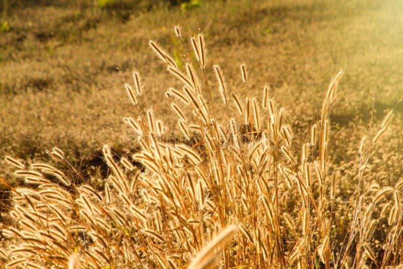 Bello giacimento di fiore dell'erba nell'ambito di luce solare calda al tramonto m. fotografie stock libere da diritti