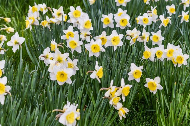Bello giacimento di fiori del narciso in primavera fotografia stock