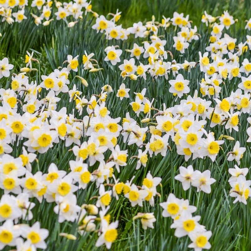 Bello giacimento di fiori del narciso in primavera fotografia stock libera da diritti