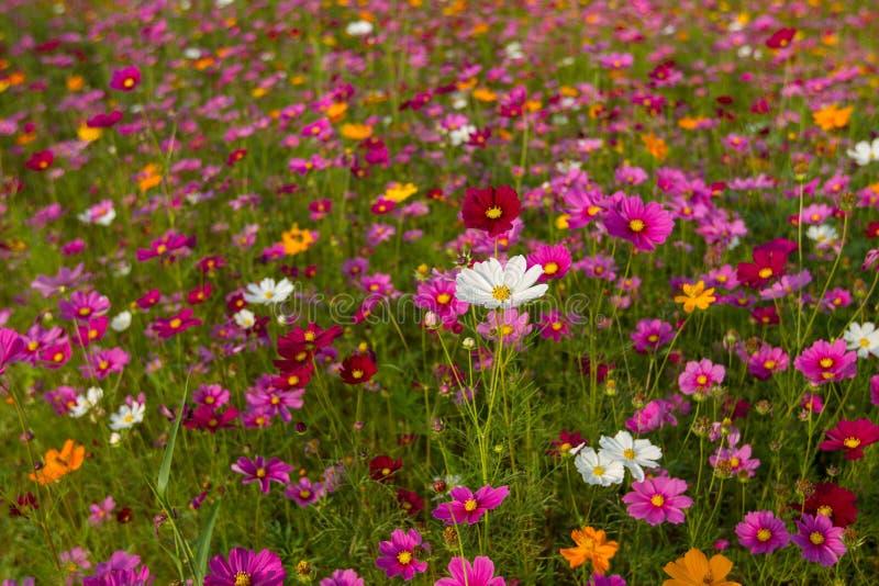 Bello giacimento di fiori multicolore, fondo romantico del fiore e carta da parati, fotografia stock libera da diritti