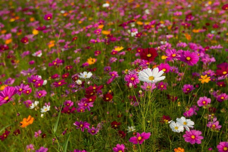 Bello giacimento di fiori multicolore, fondo romantico del fiore e carta da parati, fotografia stock