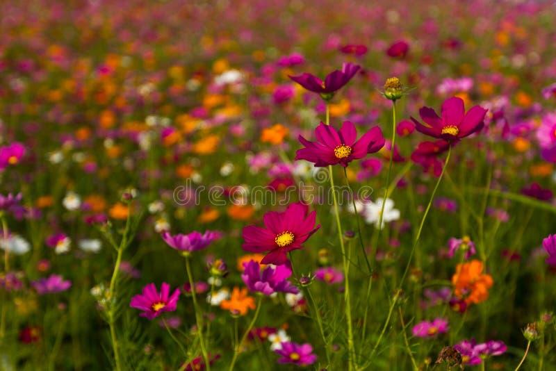 Bello giacimento di fiori multicolore, fondo romantico del fiore e carta da parati, immagine stock libera da diritti