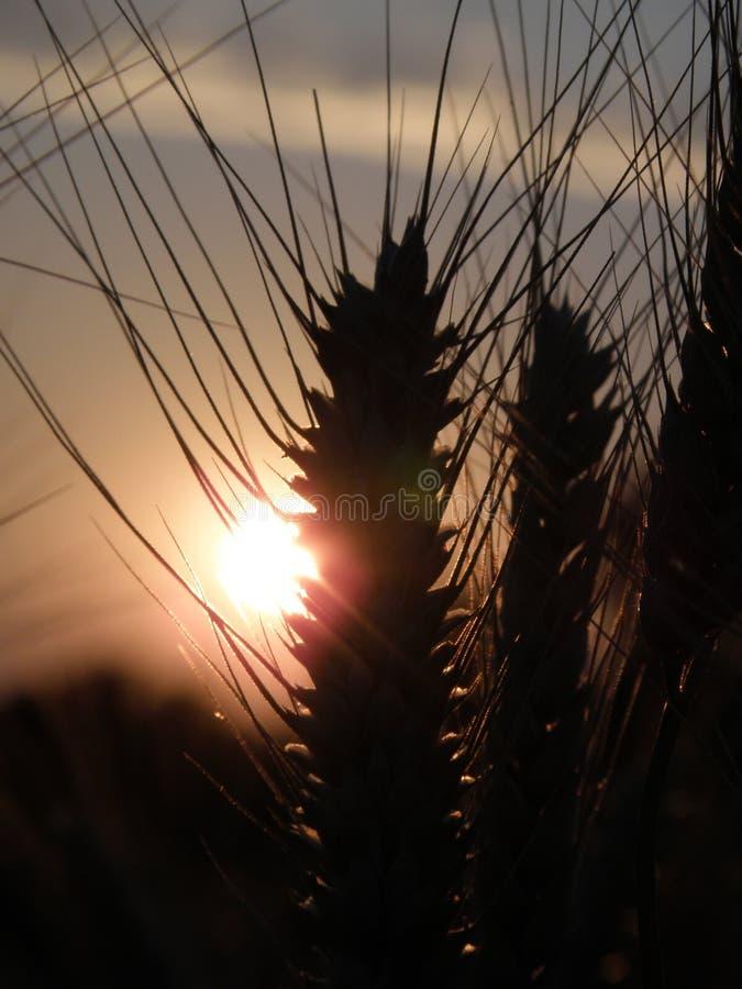 Bello giacimento di grano al tramonto immagine stock