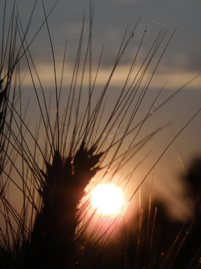Bello giacimento di grano al tramonto fotografie stock
