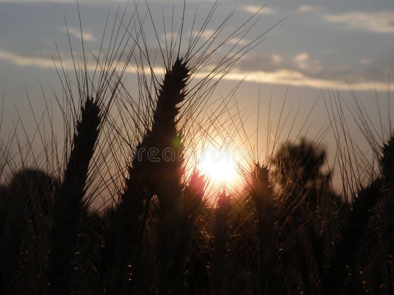 Bello giacimento di grano al tramonto immagini stock