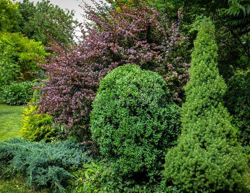 Bello giardino abbellito con i sempreverdi Esempio usando crespino porpora, picea glauca verde Conica ed il Buxus del legno di bo immagini stock libere da diritti