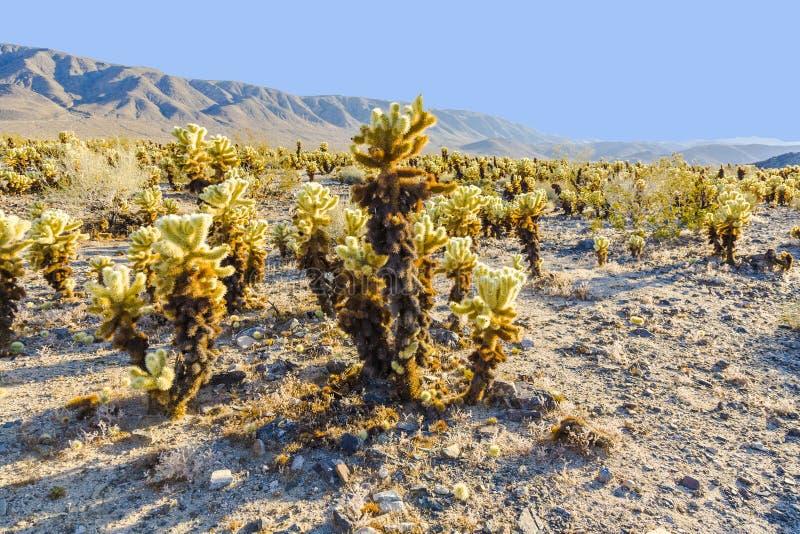 Bello giardino del cactus di Cholla immagine stock