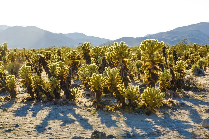 Bello giardino del cactus di Cholla immagini stock
