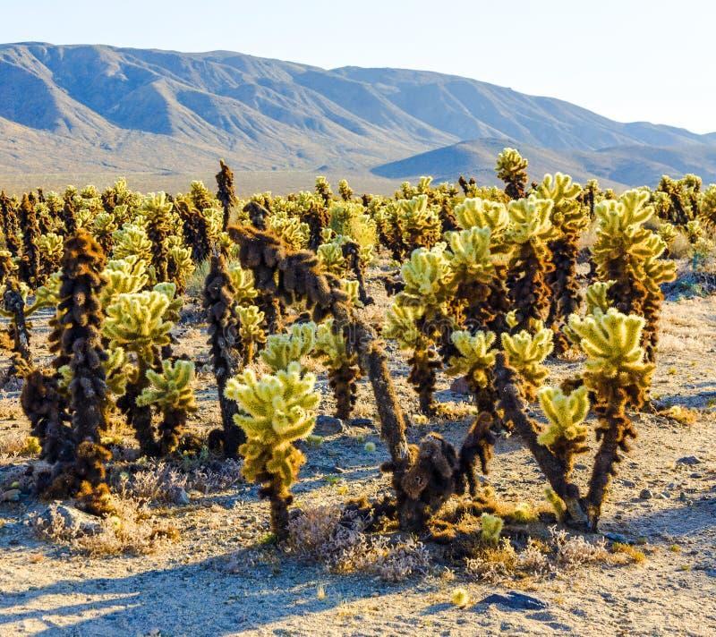 Bello giardino del cactus di Cholla nel parco nazionale di Joshua Tree fotografie stock libere da diritti
