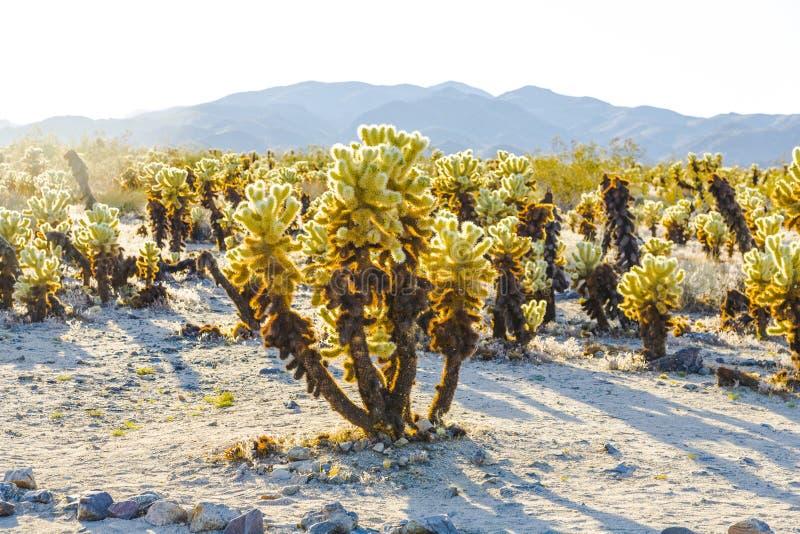 Bello giardino del cactus di Cholla nel parco nazionale di Joshua Tree fotografia stock libera da diritti