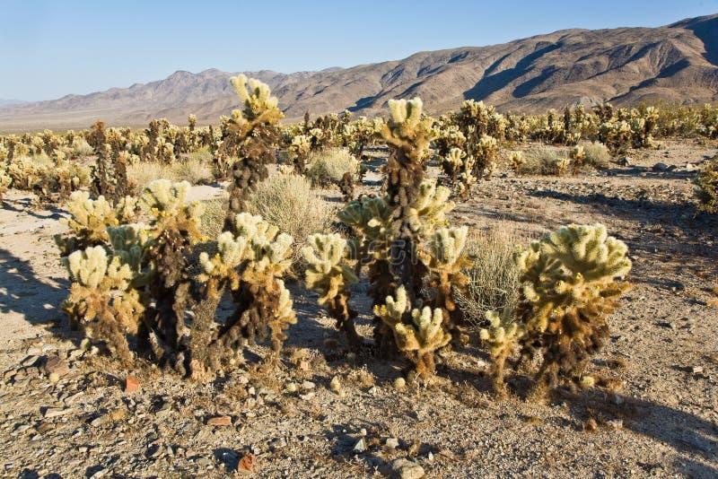 Bello giardino del cactus di Cholla nel parco nazionale di Joshua Treer dentro fotografie stock libere da diritti