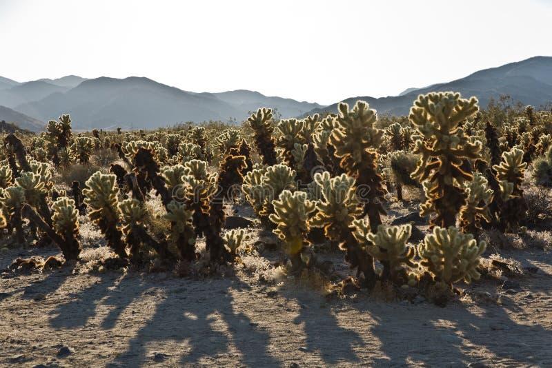 Bello giardino del cactus di Cholla nel parco nazionale di Joshua Treer dentro fotografia stock