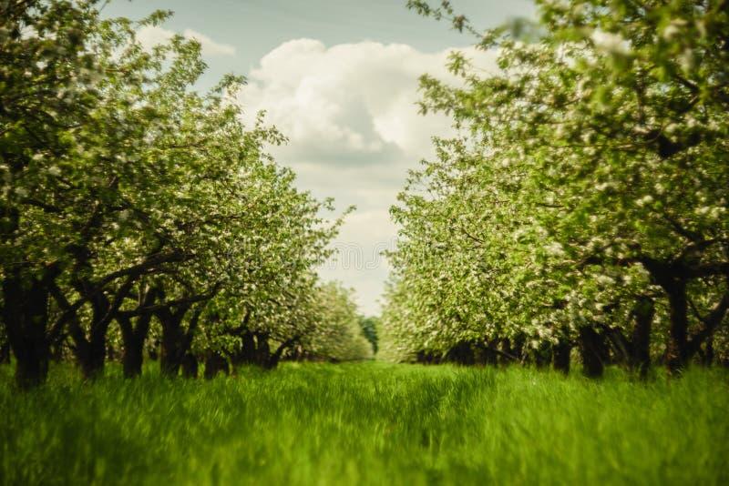 Bello giardino della frutta in primavera Di melo di fioritura nelle file con erba verde intenso nel giorno soleggiato fotografia stock libera da diritti