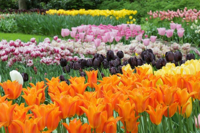 Bello giardino di molti tulipani colorati fotografie stock