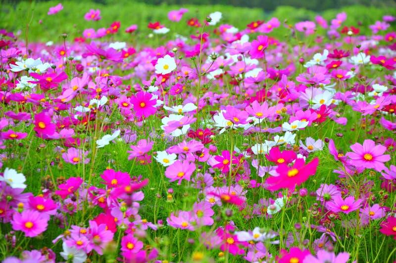 Bello giardino floreale rosa all'azienda agricola di Jim Thompson, Tailandia immagine stock