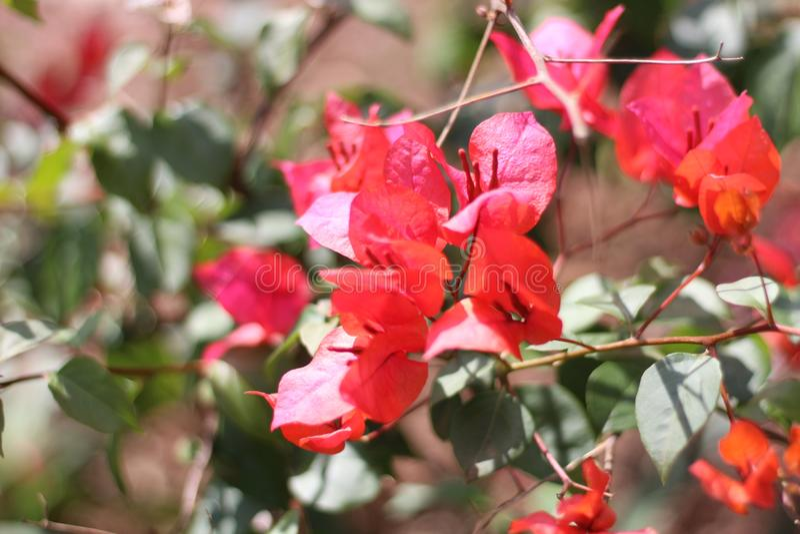 Bello giardino floreale rosso fotografia stock