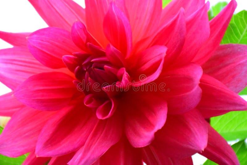Bello giardino rosso Dahlia Flower Foto del primo piano fotografia stock