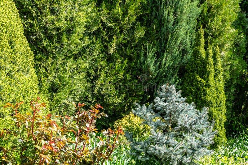 Bello giardino soleggiato abbellito della molla con i sempreverdi del lotto Esempio usando picea glauca Conica con l'abete rosso  immagine stock
