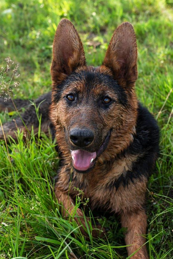 Bello giovane cane, nero e marrone, risiedente nell'erba verde fotografie stock libere da diritti