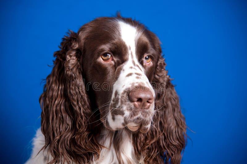 Bello giovane spaniel inglese da salto della razza del cane su fondo blu Primo piano della museruola, sguardo espressivo in camer fotografie stock libere da diritti