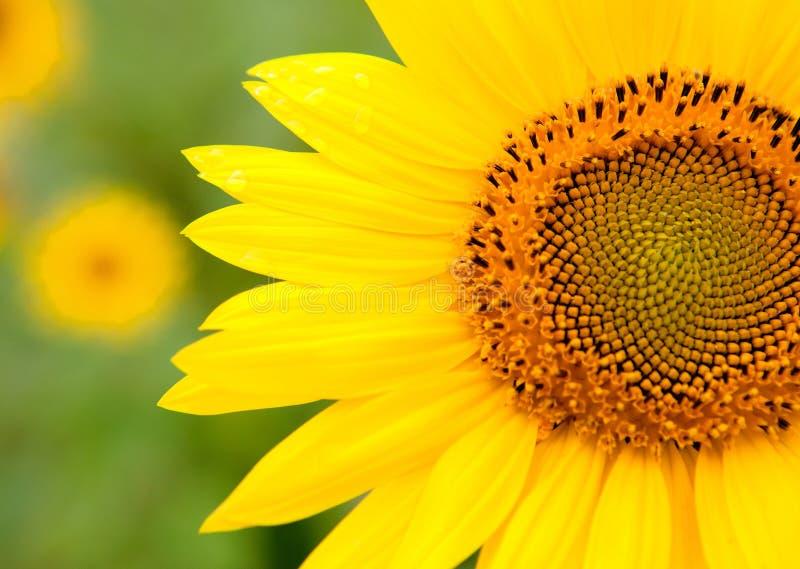 Bello girasole con giallo luminoso immagini stock
