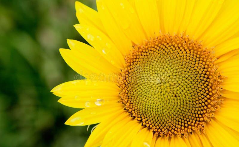 Bello girasole con giallo luminoso fotografia stock