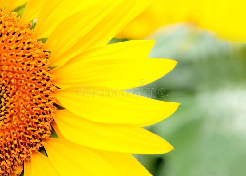 Bello girasole vicino con un giallo luminoso fotografia stock