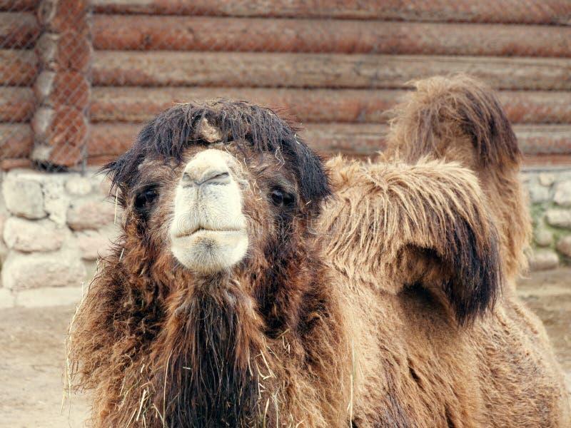 Bello grande cammello contento marrone irsuto in zoo immagini stock