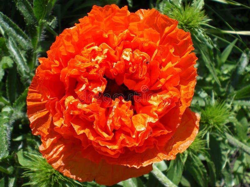 Bello grande fiore arancio del papavero di Terry fotografie stock
