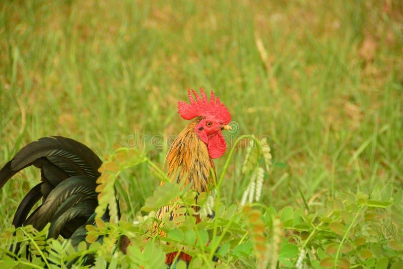 Bello grande gallo con il grande pettine rosso fotografia stock