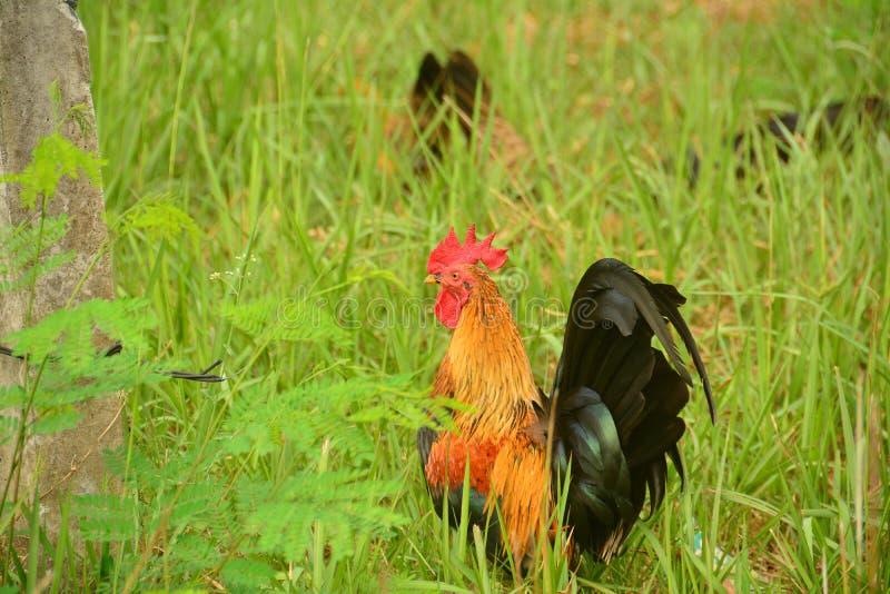 Bello grande gallo con il grande pettine rosso fotografie stock