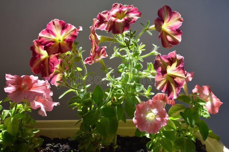 Bello gruppo di fiori della petunia il giorno di estate soleggiato Inverdimento del balcone fotografia stock