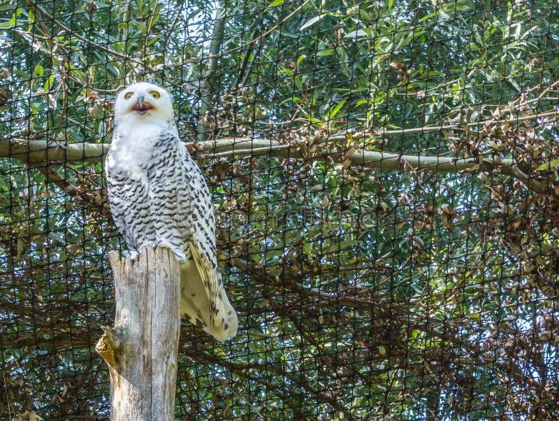 Bello gufo di bianco di Snowy che sta su un tronco di albero con il becco aperto e che guarda nella macchina fotografica con i gr immagini stock libere da diritti