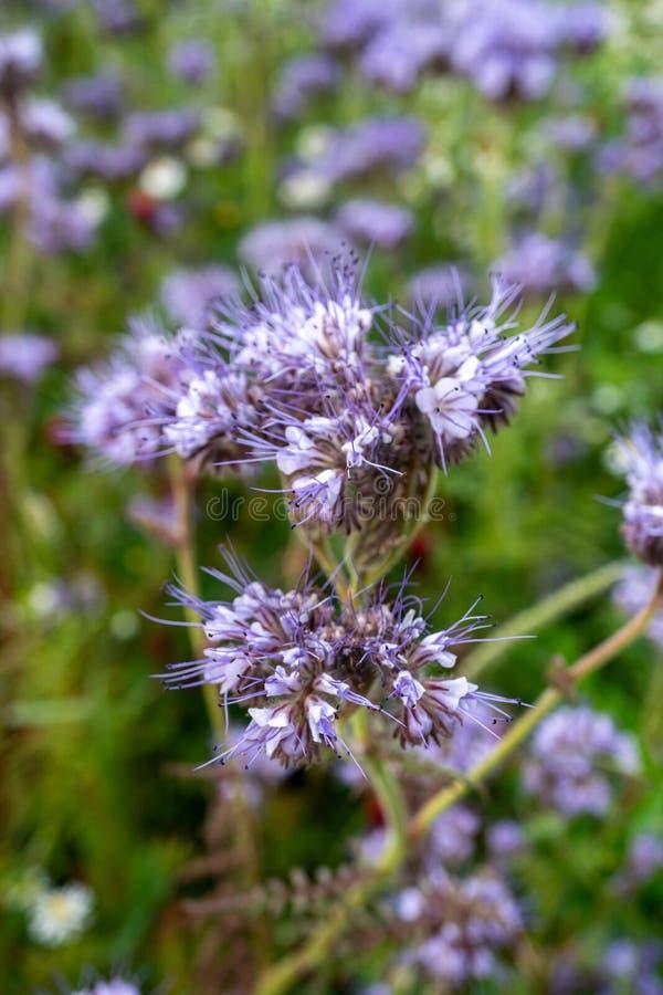 Bello 'Heavenly Blue' Caryopteris fotografie stock