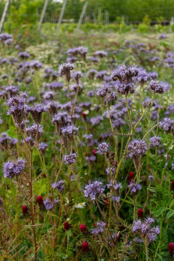 Bello 'Heavenly Blue' Caryopteris fotografia stock