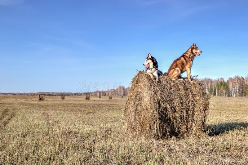 Bello husky siberiano sulla camminata nel giorno soleggiato I cani del husky si siedono sul fieno asciutto della pila e guardano  immagine stock