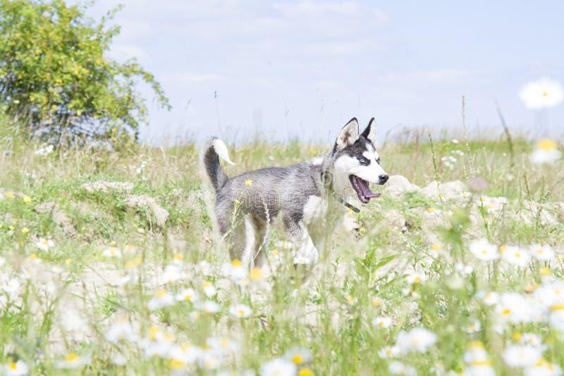 Bello husky sveglio immagini stock libere da diritti