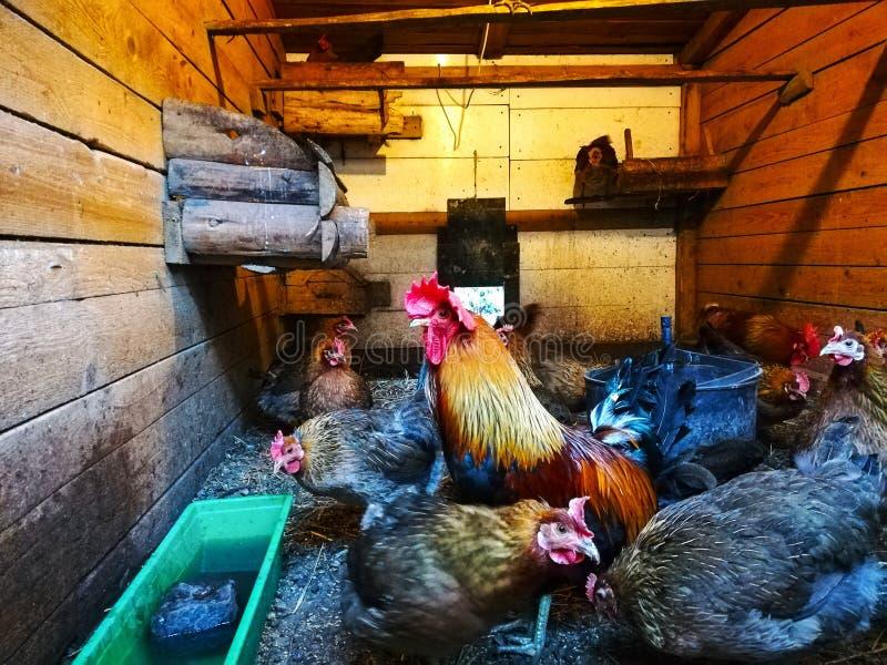 Bello inverno dei galli nel pollaio immagine stock libera da diritti