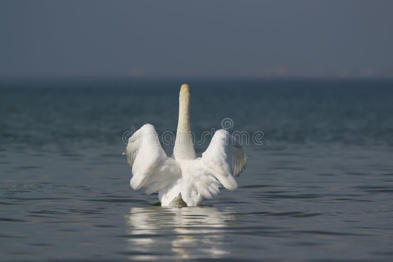 Bello lat bianco del cigno muto Olor del Cygnus - diffusioni le sue ali fotografia stock