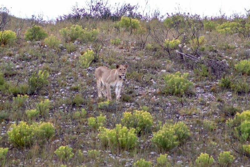 Bello, leone femminile fiero e snello con il collare di localizzazione dei gps che camminano liberamente nella riserva di caccia  fotografie stock