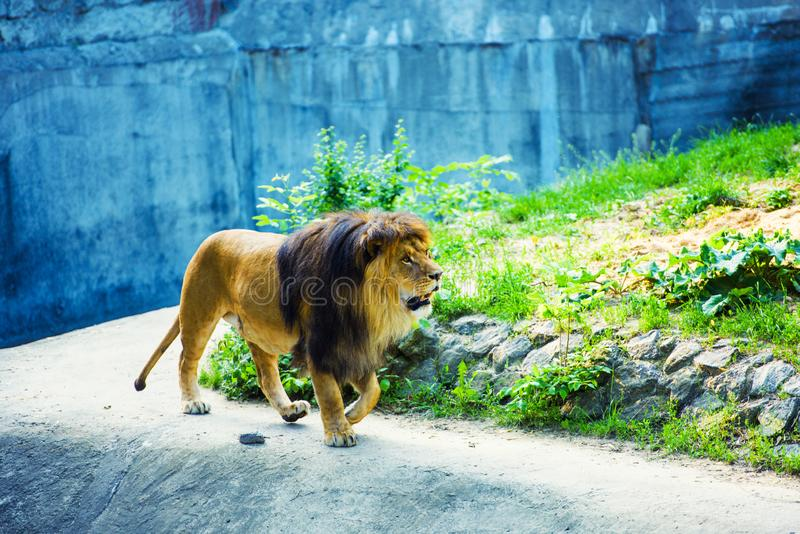 Bello leone vigoroso fotografie stock